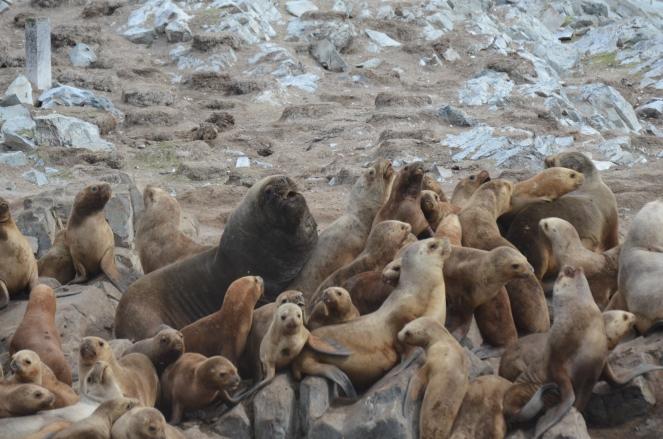 foto 26 lobos marinhos no canal de Beagle